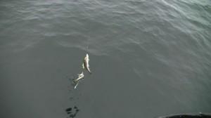 ZT NSZZP Legnica Rejs po rybkę 2017 (4)
